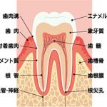 口の中と歯の働き(その3)